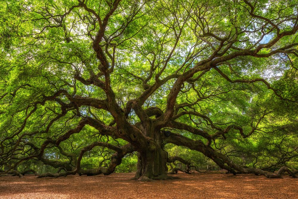 French Oak Tree for hardwood flooring